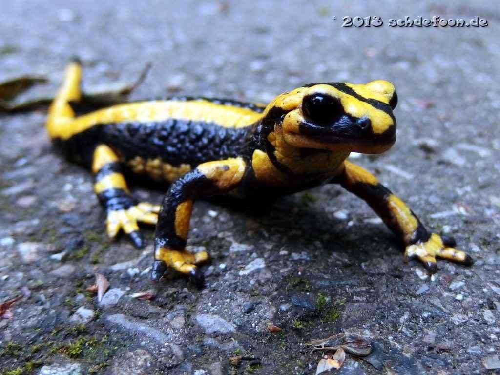 Gelb schwarz gestreifter Feuersalamander auf einem Weg