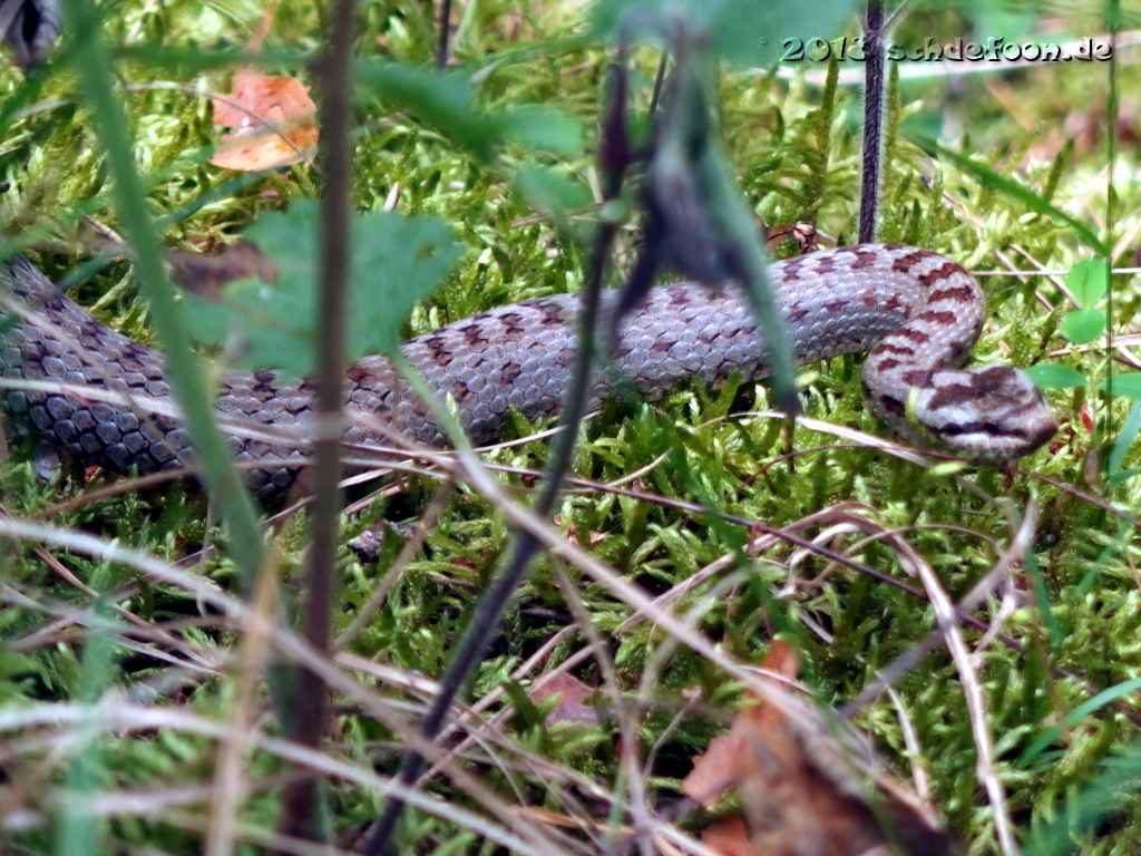 Eine graue Schlange mit zahlreichen braunen Punkten schlängelt sich durch Gräser