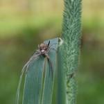 Spinne auf Grashalm