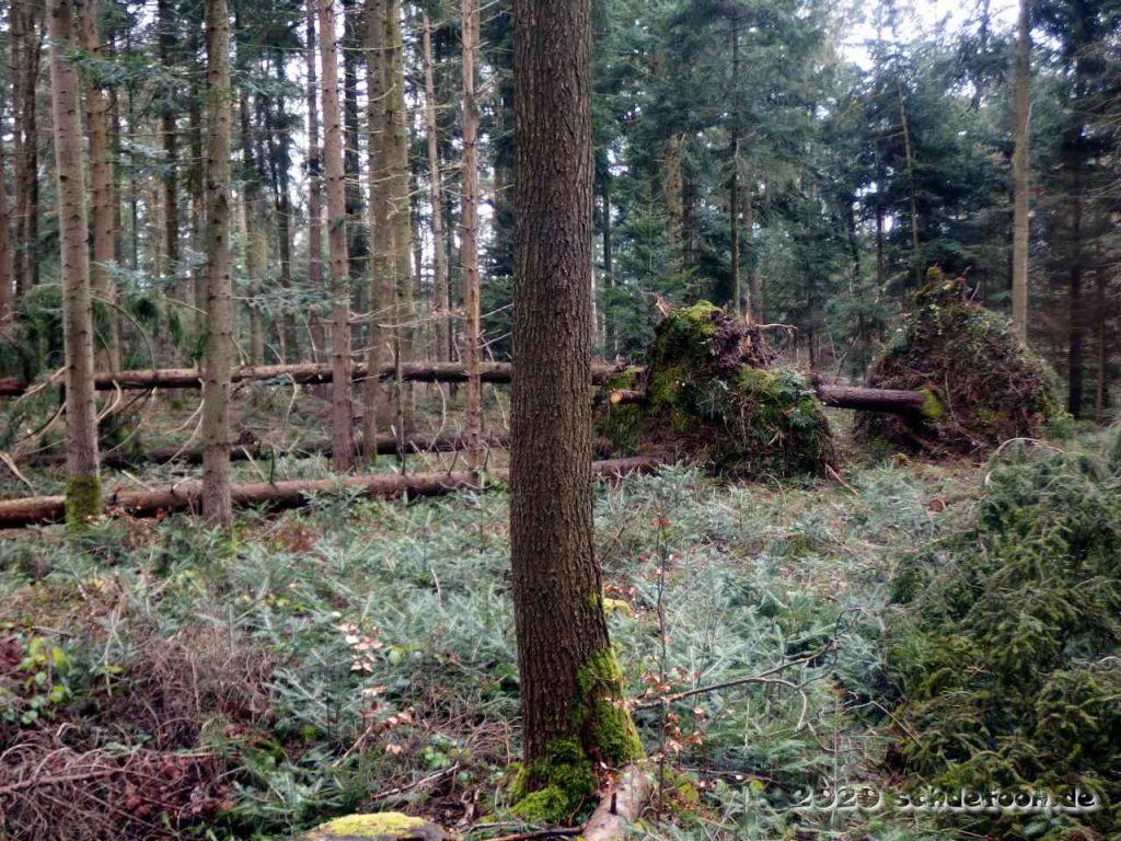 Umgestürzte Bäume mit angehobenem vollständigem Wurzelwerk