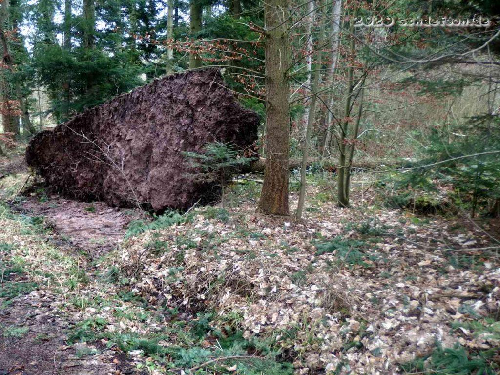 Ein großer Teil des Waldbodens wurde durch das Wurzelwerk umgestürzter Bäume angehoben