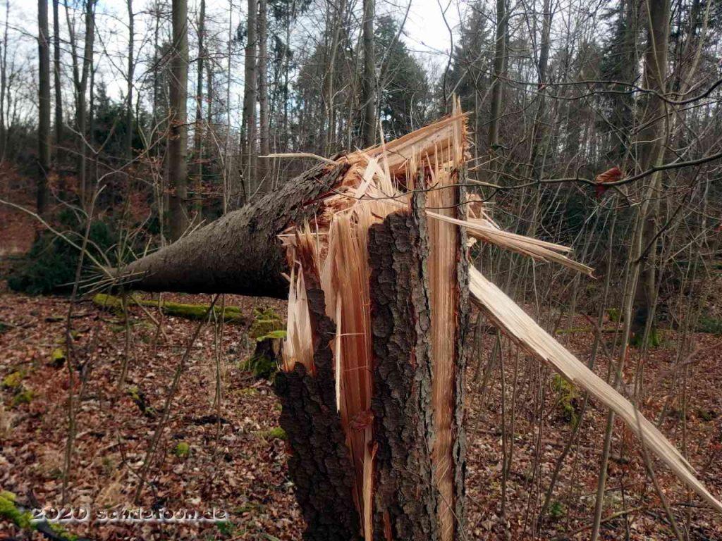 Aufgerissener Stamm eines abgeknickten Nadelbaumes