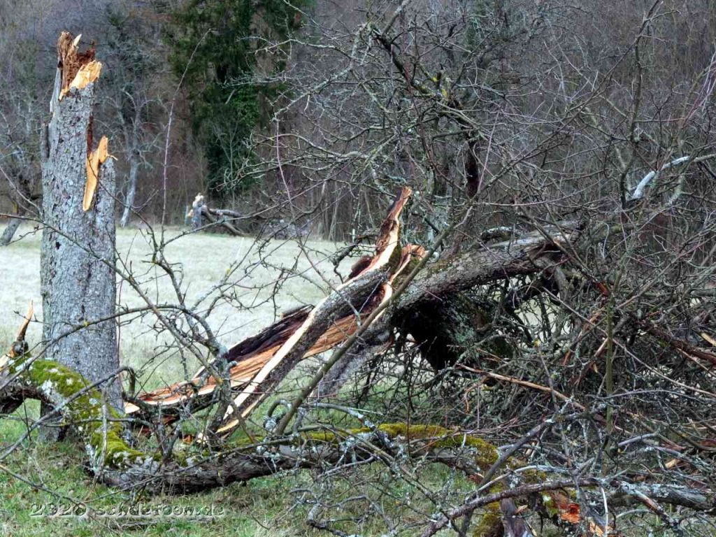 Die Krone eines Obstbaumes liegt neben dem abgebrochenen Stamm