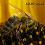 Um an den begehrten Nektar zu kommen, taucht die Biene tief in die Blüte ein
