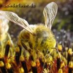 Am behaarten Körper der Biene bleiben viele Pollen hängen, die so zur nächsten Pflanze transportiert werden