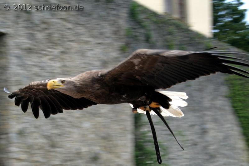 Ein Seeadler fliegt über das Publikum